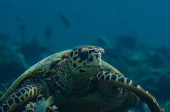 Portrait of a big turtle in the indian ocean at Maldives stock photo