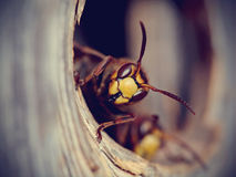 Portrait of a big wasp - a hornet Royalty Free Stock Photography
