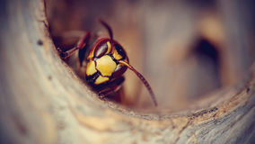 Portrait of a big wasp - a hornet Royalty Free Stock Photo