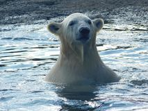 Portrait of a big white bear. Close up photo of a big white bear in water stock photos
