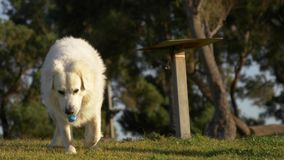 Portrait of big white dog at grass in the park with bone collar with pockets. Portrait of big white dog with funny bone pendant at grass in the park stock footage