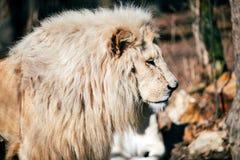 Portrait of white lion walking towards camera. Portrait of big white lion walking towards camera Stock Photography