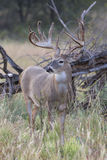 Portrait of big whitetail deer in vertical format Royalty Free Stock Photos