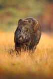 Portrait of big Wild boar, Sus scrofa, running in the grass meadow, red autumn forest in background, action scene in the forest gr Stock Photography