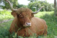Big wild cow on the grass. Portrait of a  big wild cow  on the grass Stock Images