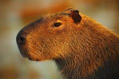 Portrait of biggest mouse around the world, Capybara, Hydrochoerus hydrochaeris, with evening light during sunset, Pantanal, Brazi Stock Photo