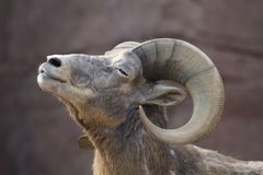 Portrait of a bighorn sheep Stock Images
