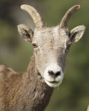 Portrait of bighorn sheep. Stock Photos