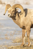 Portrait of bighorn sheep ram in snow on National Elk Refuge Stock Photo