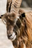Portrait of a Billy Goat - Italian Alps. Portrait of a Brown and white billy goat with long fur and horns looking into the camera. Italian Alps Stock Photo