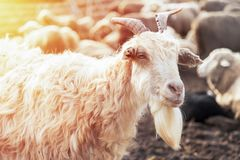 Portrait of a billy goat. Looking at camera into sunny day royalty free stock photos