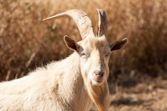Portrait of a Billy Goat stock photos