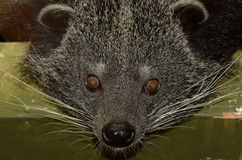 Portrait of a Binturong Royalty Free Stock Image