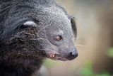 The portrait of Binturong Stock Photos