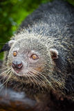 The portrait of Binturong Royalty Free Stock Photo