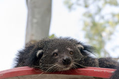 Portrait of binturong, Thailand Royalty Free Stock Image