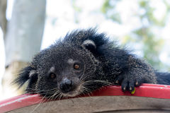 Portrait of binturong, Thailand Stock Photo