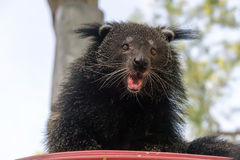 Portrait of binturong, Thailand Stock Photos