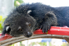 Portrait of binturong, Thailand Royalty Free Stock Photos