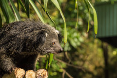 The portrait of Binturong (young binturong) Royalty Free Stock Photos
