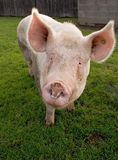 Portrait of biological Pig. Portrait of a curious farm-pig looking at the camera Royalty Free Stock Photo