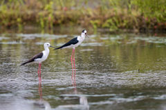 Portrait of bird - Black Winged Stilts Royalty Free Stock Images