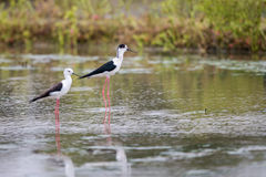 Portrait of bird - Black Winged Stilts Royalty Free Stock Image
