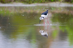 Portrait of bird - Black Winged Stilts Stock Photography