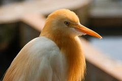 Portrait of a bird cattle egret - the most numerous bird of the heron family. stock photography