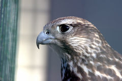 Portrait of a bird of the eagle family. The portrait of a bird of the eagle family stock photography