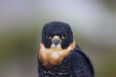 Portrait of bird Falco rufigularis close-up Ornitology