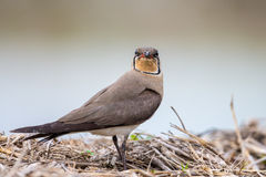 Portrait of bird - Oriental Prantincoles Royalty Free Stock Images