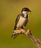 Bird on branch. Portrait of bird perched on branch with insect in mouth Royalty Free Stock Photo