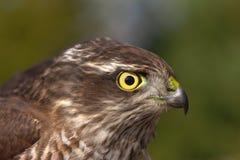 Pernis apivorus. Portrait of a bird of prey closeup Stock Photos