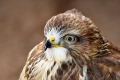 Portrait bird of prey Common buzzard Royalty Free Stock Images