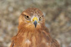 Portrait of bird of prey Royalty Free Stock Images