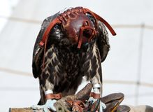 Bird of prey in special equipment during falconry stock photos