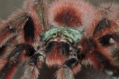 Portrait of a bird spideravicularia versicolor Stock Photography