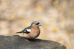 Portrait birds Chaffinch on a tree stump on a Sunny day Stock Photography