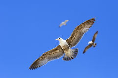 Portrait of birds flying against the blue sky. Royalty Free Stock Photos
