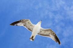 Portrait of birds flying against the blue sky. Royalty Free Stock Image