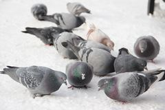 Portrait of birds pigeons pecking grain in the snow in the winter in the street close up Stock Photo