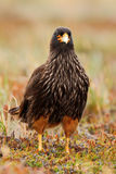 Portrait of birds of prey Strieted caracara, Phalcoboenus australis, sitting in the grass, Falkland Islands Royalty Free Stock Photo