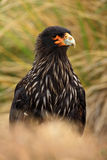 Portrait of birds of prey Strieted caracara, Phalcoboenus australis, sitting in the grass, Falkland Islands Royalty Free Stock Image