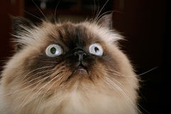 Portrait of birman cat with big eyes Stock Photography