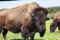Portrait of the bison. Bull  bison grazing on flowering meadow Royalty Free Stock Photography
