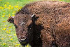 Portrait of the bison. Grazing on flowering meadow Stock Photography