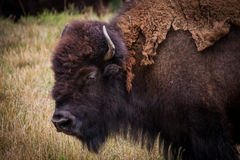 Portrait of a an American Bison Cow. A bison pauses while grazing in this field Royalty Free Stock Photography