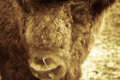 Portrait of bison. Sharpness on eyes. tinted Stock Images
