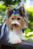 Portrait biver yorkshire terrier dog Stock Photo